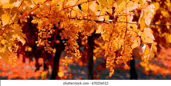 Vineyard in autumn with fall colors. Close up clusters of grapes hanging from the vines. Banner format