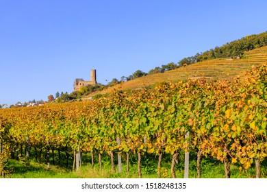 Vineyard in autumn, german landscape. Vineyard Landscape at Schriesheim wine region in Baden-Wuerttemberg, Germany. Strahlenburg Castle Ruin at  Badische Weinstrasse ( Baden Wine Road )