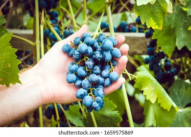 Vineyard in autumn harvest-Holding holds a bunch of grapes