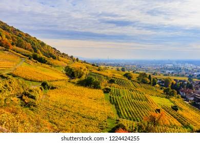 Vineyard autumn Landscape at Schriesheim wine region in Baden-Wuerttemberg, Germany. View from Strahlenburg Castle at  Baden Wine Road