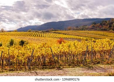 Vineyard autumn Landscape in wine region in Germany.