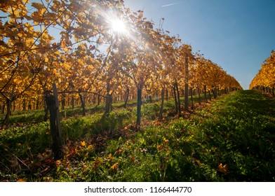 Vineyard in autumn, lit by sun