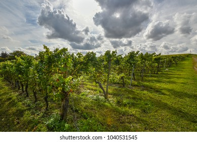 Vineyard in autumn sun shortly after grape harvest