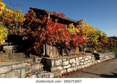 Weinberg im Herbst mit Werkzeug mit Wein überwuchert.