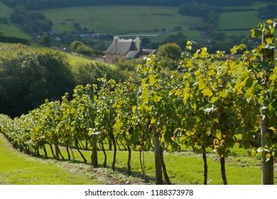 Vineyard in Axe Valley in East Devon