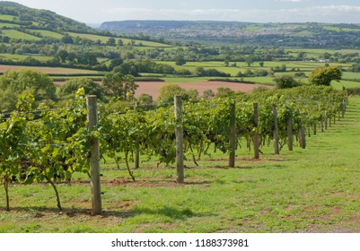 Vineyard in Axe Valley in East Devon