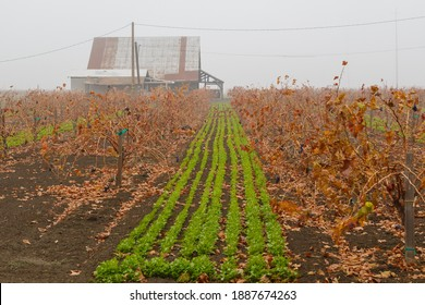 Vineyard barn and landscape covered in Autumn mist.