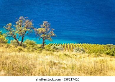 Vineyard and beautiful coast by turquoise sea, Brac island in Dalmatia, Croatia