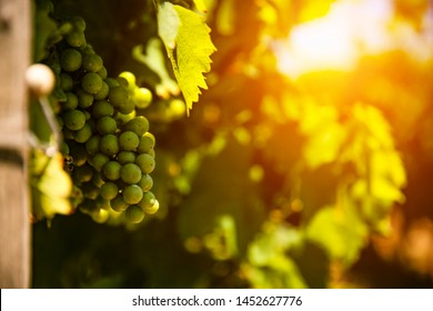 Vineyard and the beautiful sunset sun rays in the grape shrubs