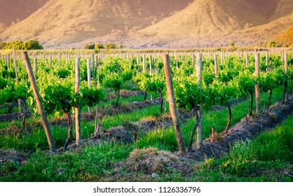 Vineyard at the beginning of spring in the afternoon