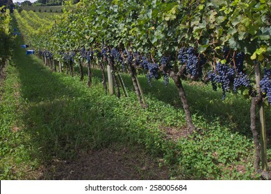 Vineyard at Bento Goncalves - rio Grande do Sul - Brazil