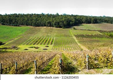 Vineyard - Bickley - Western Australia