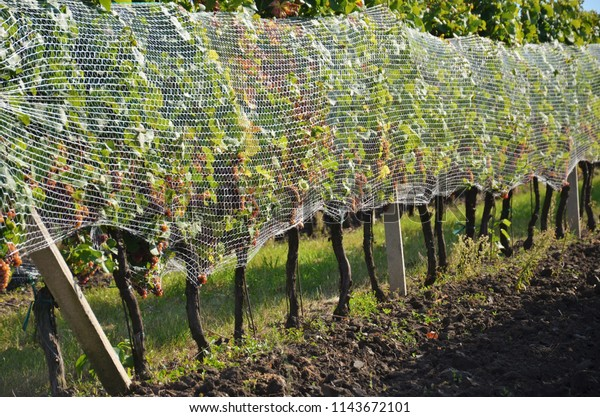 Vineyard Bird Netting Protecting Wine Crop Stock Photo (Edit