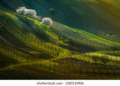 Vineyard with blossoming white trees in the early spring