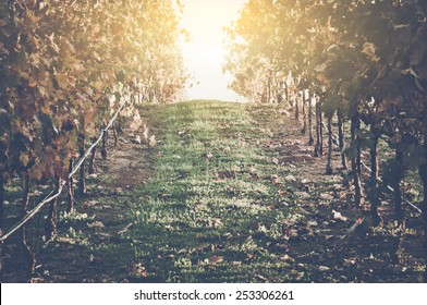 Vineyard with Blue Sky in Autumn with Vintage Film Style Filter, blur