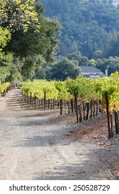 Vineyard by a road going to a White House; dirt road leading to a White House, and roadside grapevines