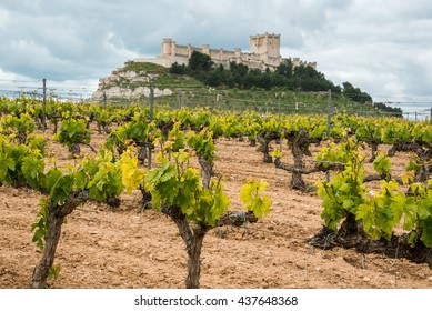 Vineyard with Castle of Penafiel  as background, Valladolid Province, Castile-Leon (Spain)