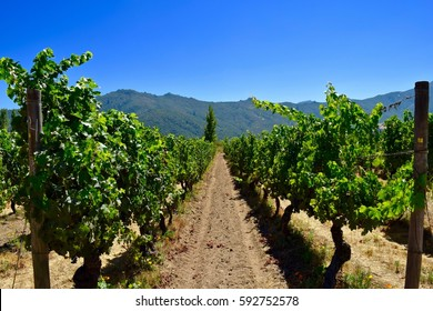 Vineyard in Colchagua Valley, Chile