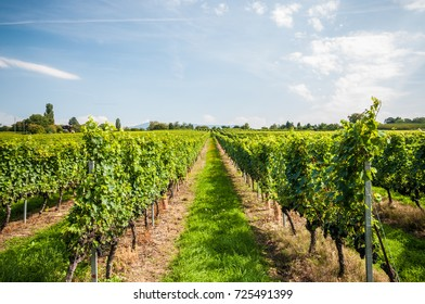 Vineyard in countryside