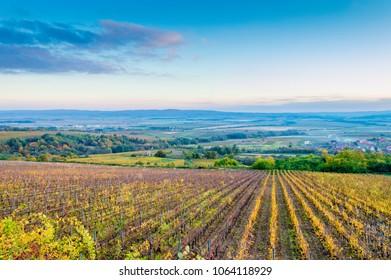 Vineyard in Croatia, Slavonia region