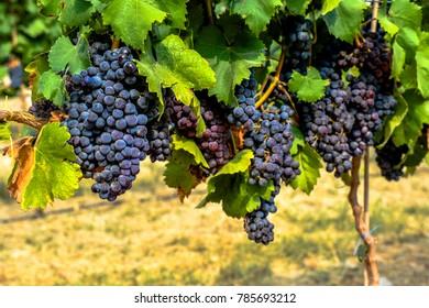 Vineyard in Cyprus