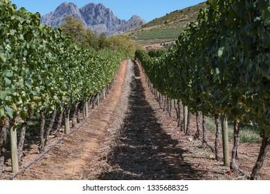 Vineyard at the De Graff estate, South Africa