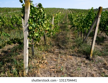 Vineyard in detail with banister and long lines