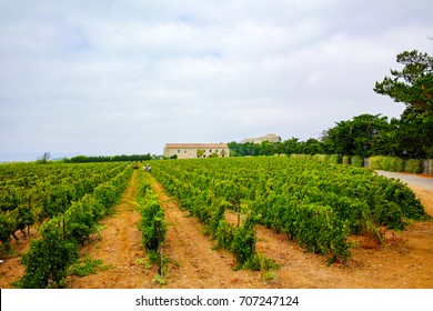 Vineyard in Domaine de Maguelone near Montpellier, South France, red wine grape plantation