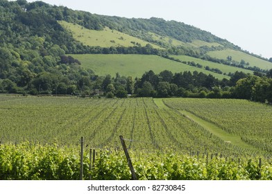 Vineyard at Dorking. Surrey. England. Box Hill on the North Downs in background.