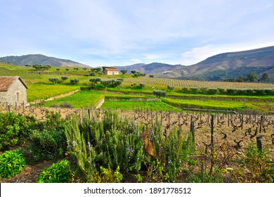 Vineyard in the Douro Valley in Portugal