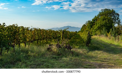 vineyard during harvest season - Rtveli, Kakheti, Georgia