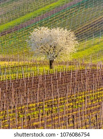 Vineyard during spring season with blossoming Cherry tree in the middle. South Moravia, Czech Republic