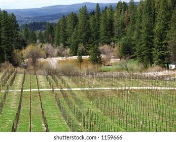 vineyard of El Dorado County