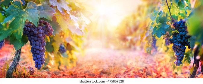 Vineyard In Fall Harvest With Ripe Grapes At Sunset