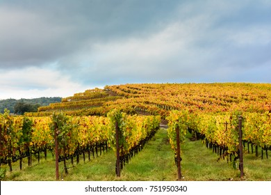 Vineyard in Fall, Sonoma County, California