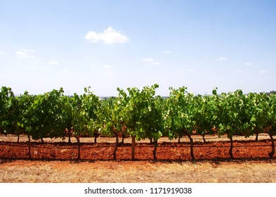 vineyard field at south of Portugal, alentejo region
