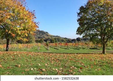 Vineyard framed by trees in full autumn colour on a sunny day in Dorking, Surrey, with the chalk hills, and Box Hill, of the north downs in the background