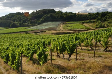 "Vineyard in France "" Coteaux du Layon """