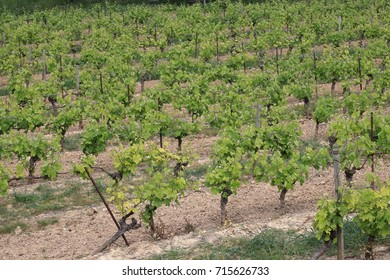 Vineyard in french countryside. Occitanie in south of France