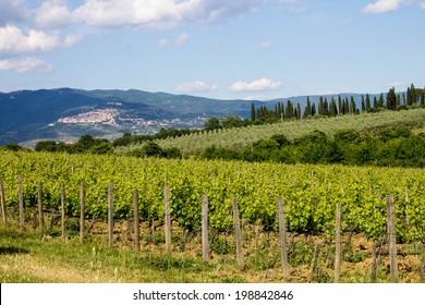 Vineyard in front of Cortona in Tuscany