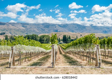 Vineyard in Gibbston Valley, New Zealand. Central Otago is the southernmost wine region in the world and mostly famous for its Pinot Noirs and white wines.