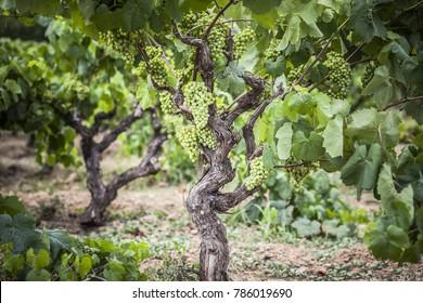 Vineyard grape cluster, penedes wine area.