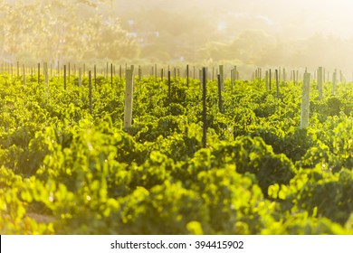 Vineyard grape leaves close up during sunrise