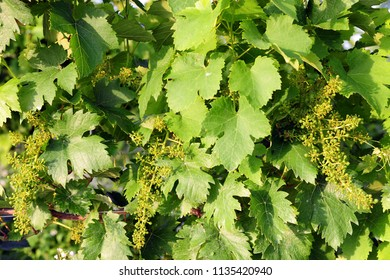 vineyard - grape plant for the production of wine with bunches of grapes undergoing growth - Oltrepo Pavese , Broni e Pavia
