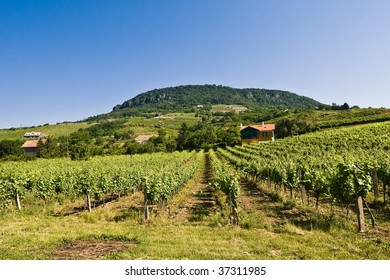 Vineyard grape stock rows on Badacsony hill region, Hungary