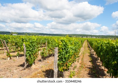 vineyard with grapes in the Loire Valley France