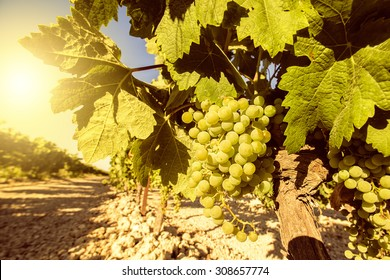 Vineyard with grapes in sunny day
