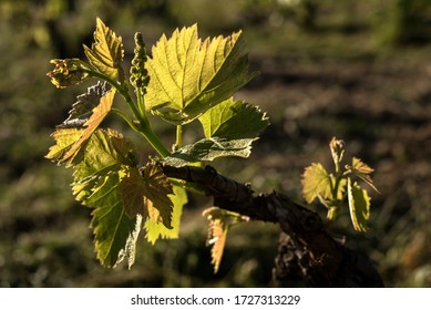 Vineyard.  Grapevines with green leafs. Sustainable agriculture