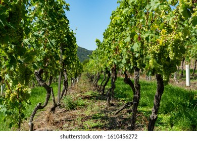 Vineyard with growing white wine grapes, riesling or chardonnay grapevines in summer