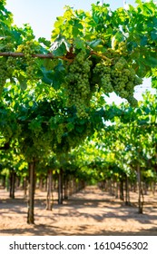 Vineyard with growing white wine grapes in Lazio, Italy, chardonnay and malvasia grapes
